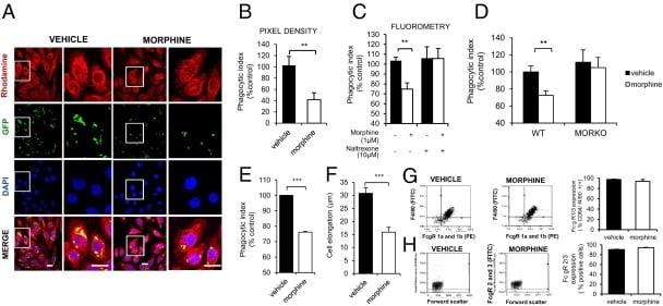 CD16/CD32 Antibody