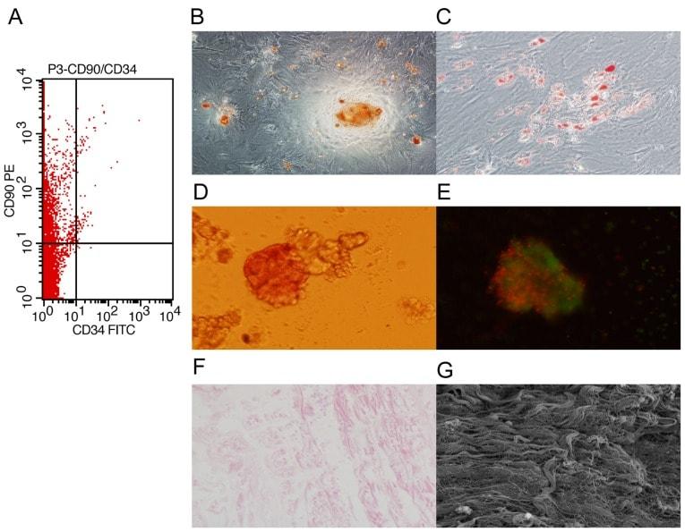 CD90.1 (Thy-1.1) Antibody