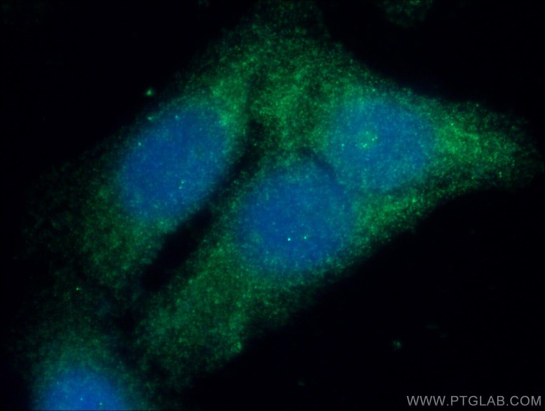 GSNOR/ADH5 Antibody in Immunofluorescence (IF)