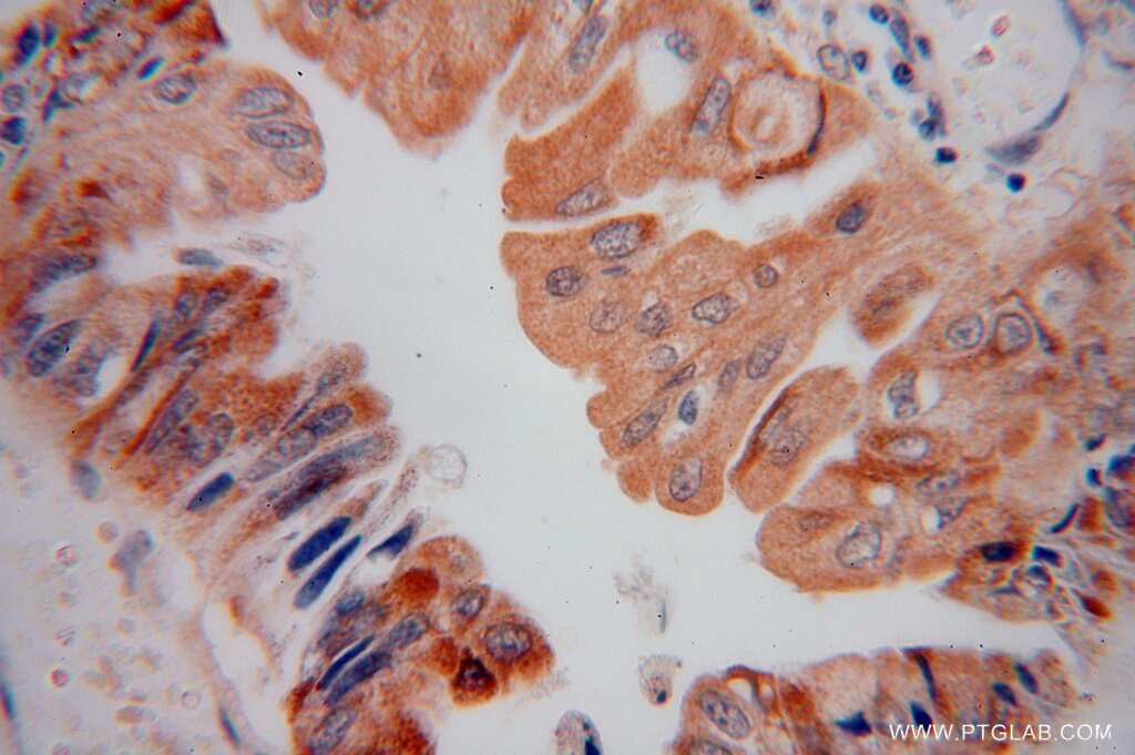 AMD1 Antibody in Immunohistochemistry (Paraffin) (IHC (P))