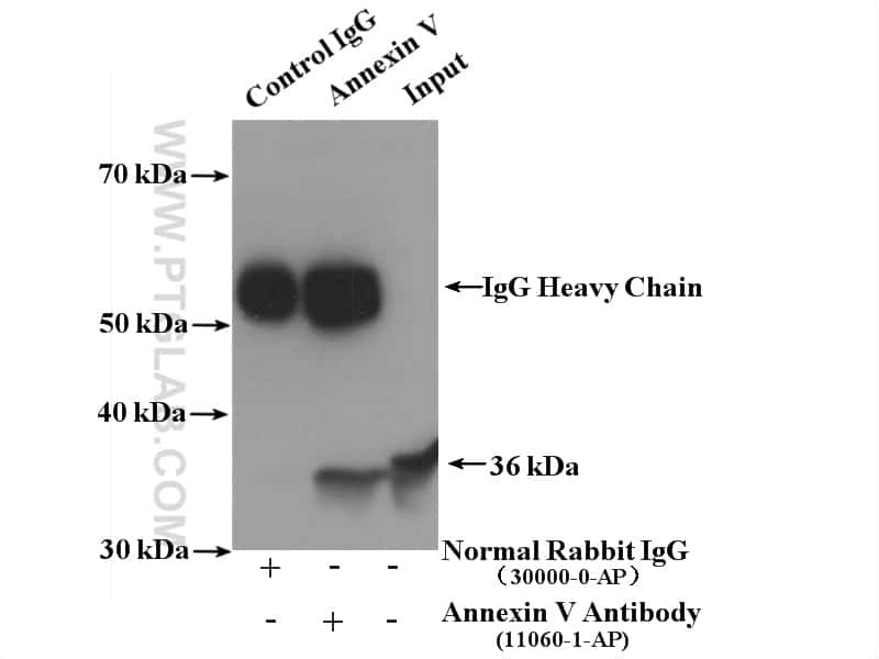 Annexin V Antibody in Immunoprecipitation (IP)