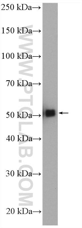 GATA2 Antibody in Western Blot (WB)