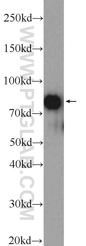 CUL3 Antibody in Western Blot (WB)