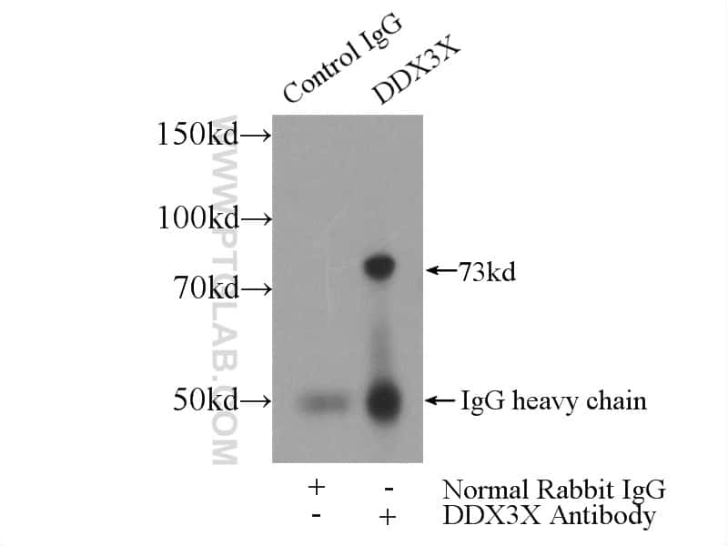 DDX3 Antibody in Immunoprecipitation (IP)