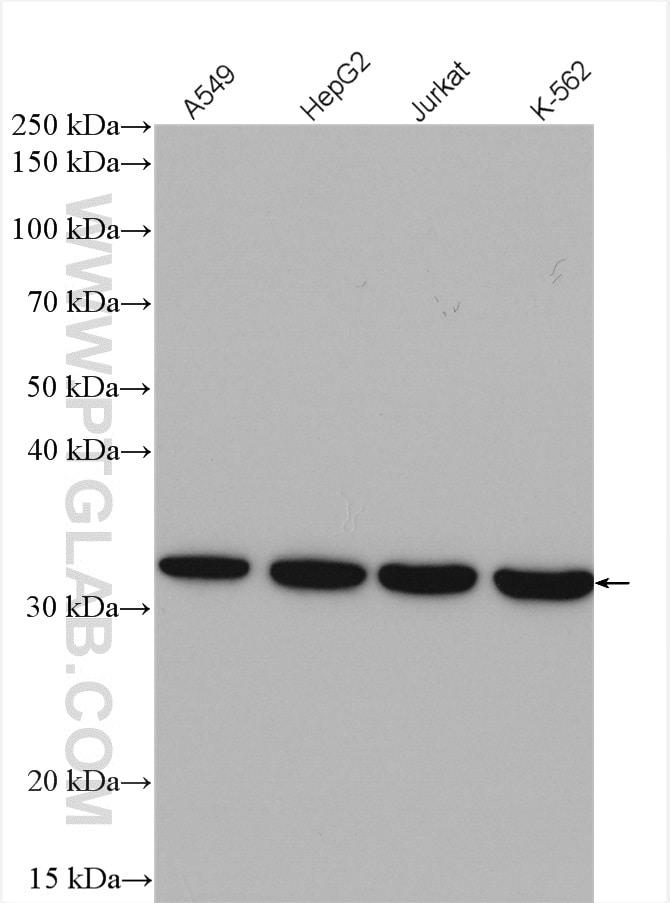 AKR1C3 Antibody in Western Blot (WB)