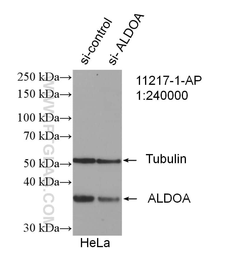 ALDOA Antibody in Western Blot (WB)
