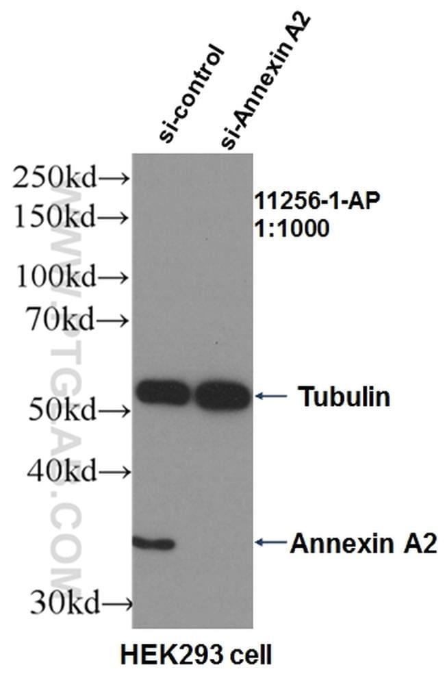 Annexin A2 Antibody in Western Blot (WB)