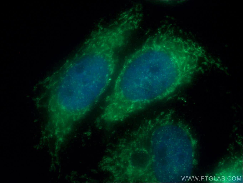 Tom22 Antibody in Immunofluorescence (IF)