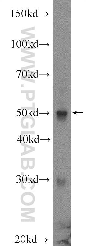 IRF1 Antibody in Western Blot (WB)