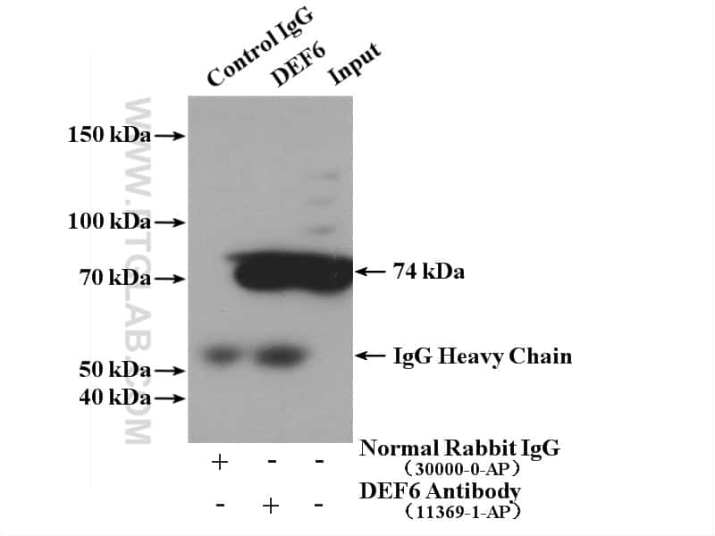 DEF6 Antibody in Immunoprecipitation (IP)