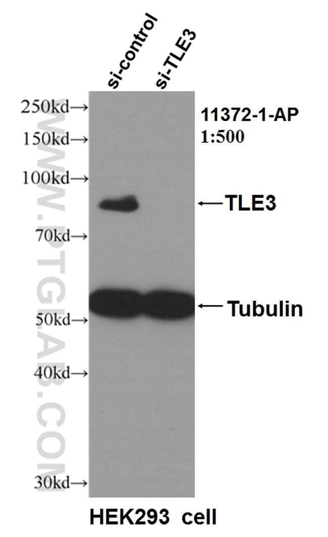 TLE3 Antibody in Western Blot (WB)