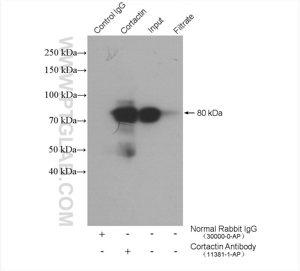 Cortactin Antibody in Immunoprecipitation (IP)