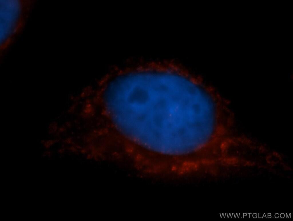 COX7C Antibody in Immunofluorescence (IF)