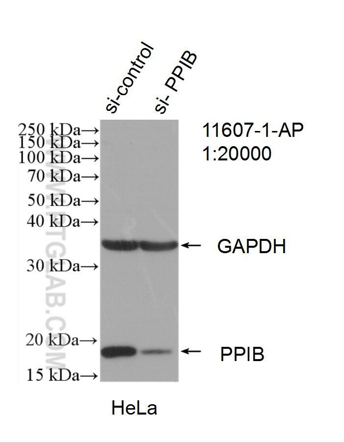 Cyclophilin B Antibody in Western Blot (WB)