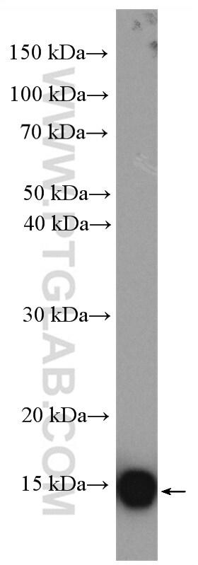 UBE2D3 Antibody in Western Blot (WB)
