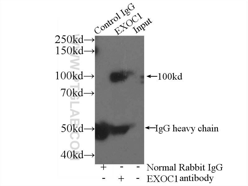EXOC1 Antibody in Immunoprecipitation (IP)