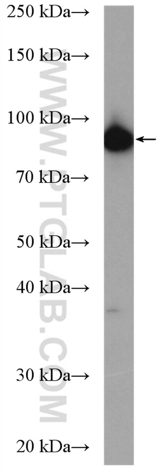 IPO13 Antibody in Western Blot (WB)