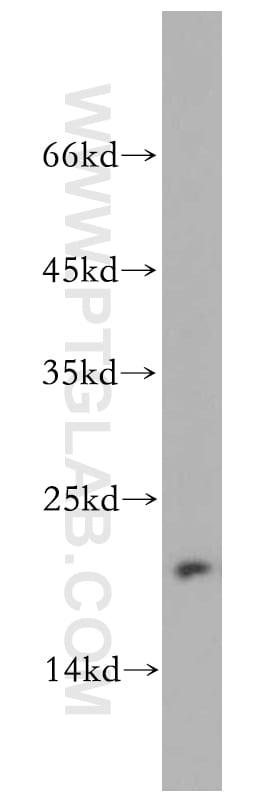 MRPL23 Antibody in Western Blot (WB)