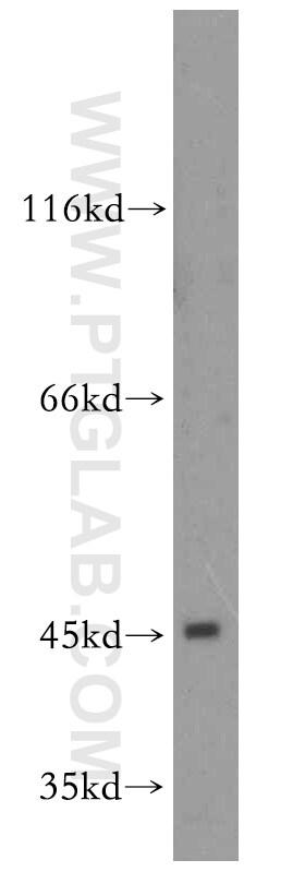 DNAJA1 Antibody in Western Blot (WB)