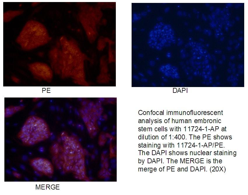 LIN28 Antibody in Immunofluorescence (IF)