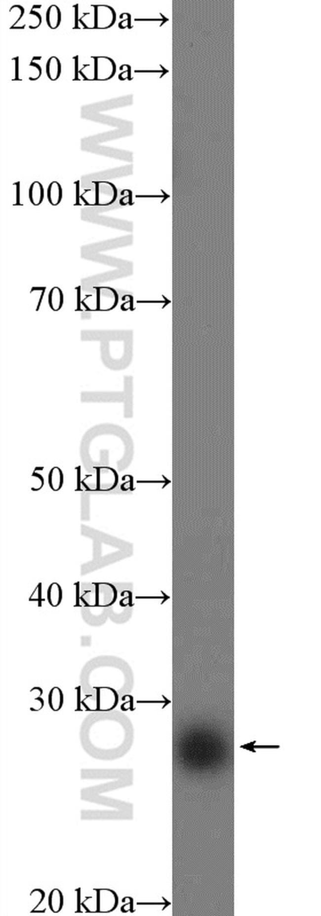 LIN28 Antibody in Western Blot (WB)