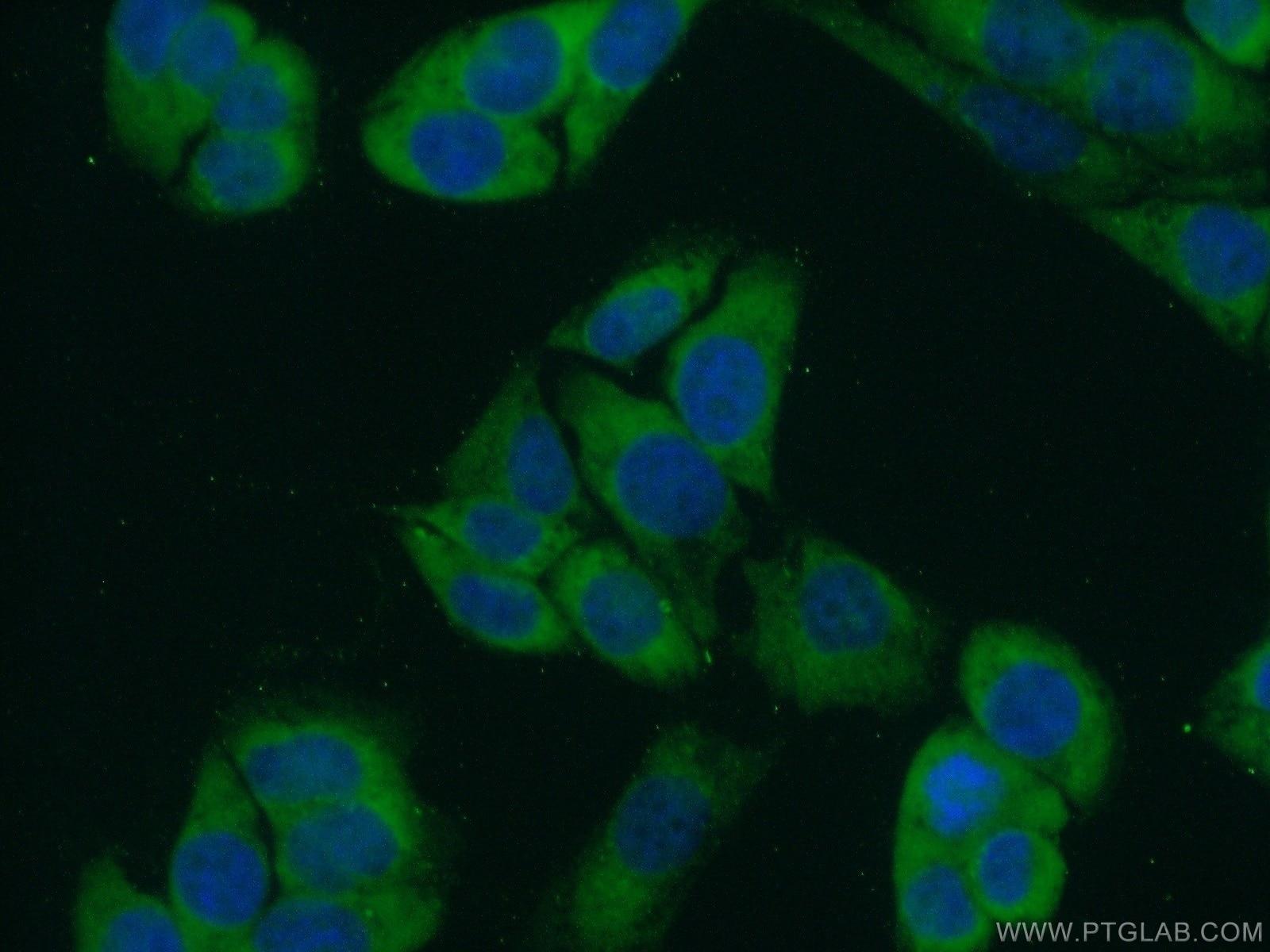 FKBP3 Antibody in Immunofluorescence (IF)
