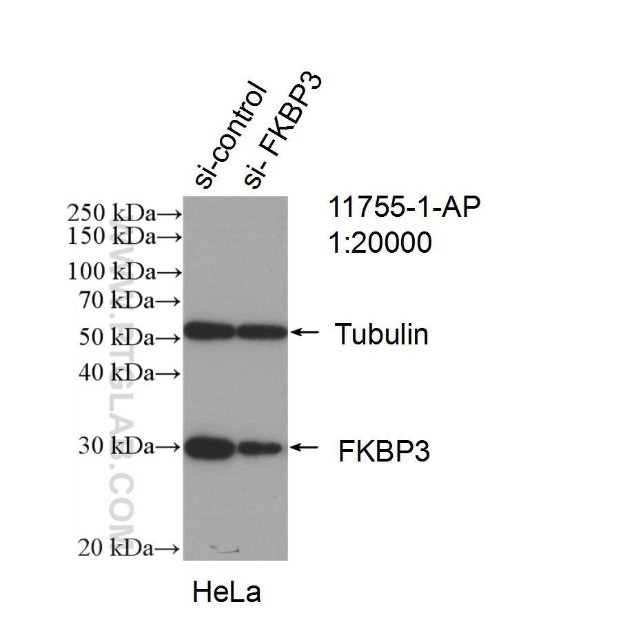 FKBP3 Antibody in Western Blot (WB)