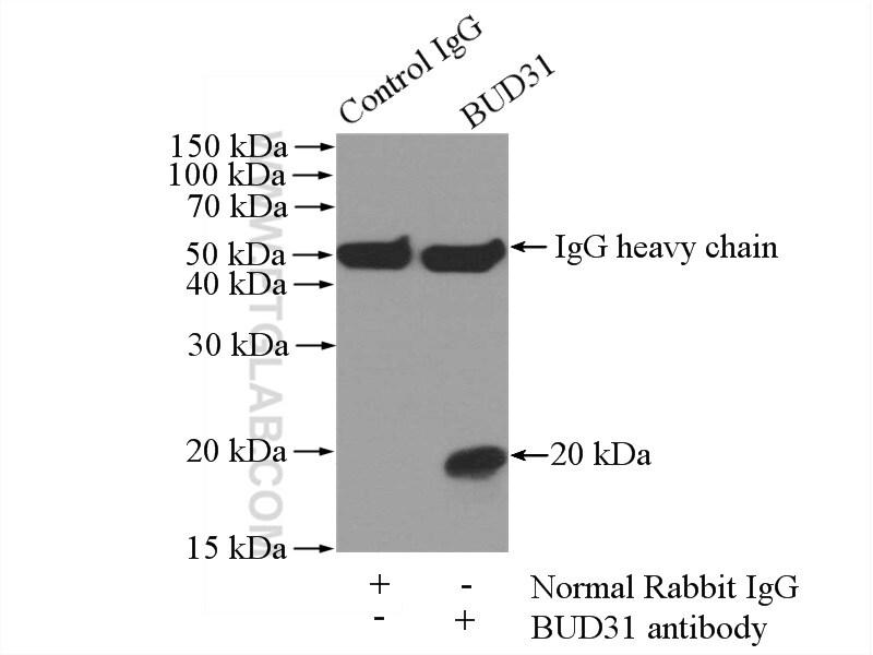 BUD31 Antibody in Immunoprecipitation (IP)