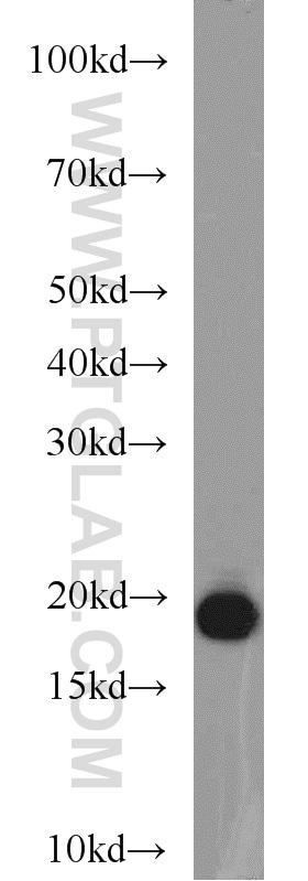BUD31 Antibody in Western Blot (WB)