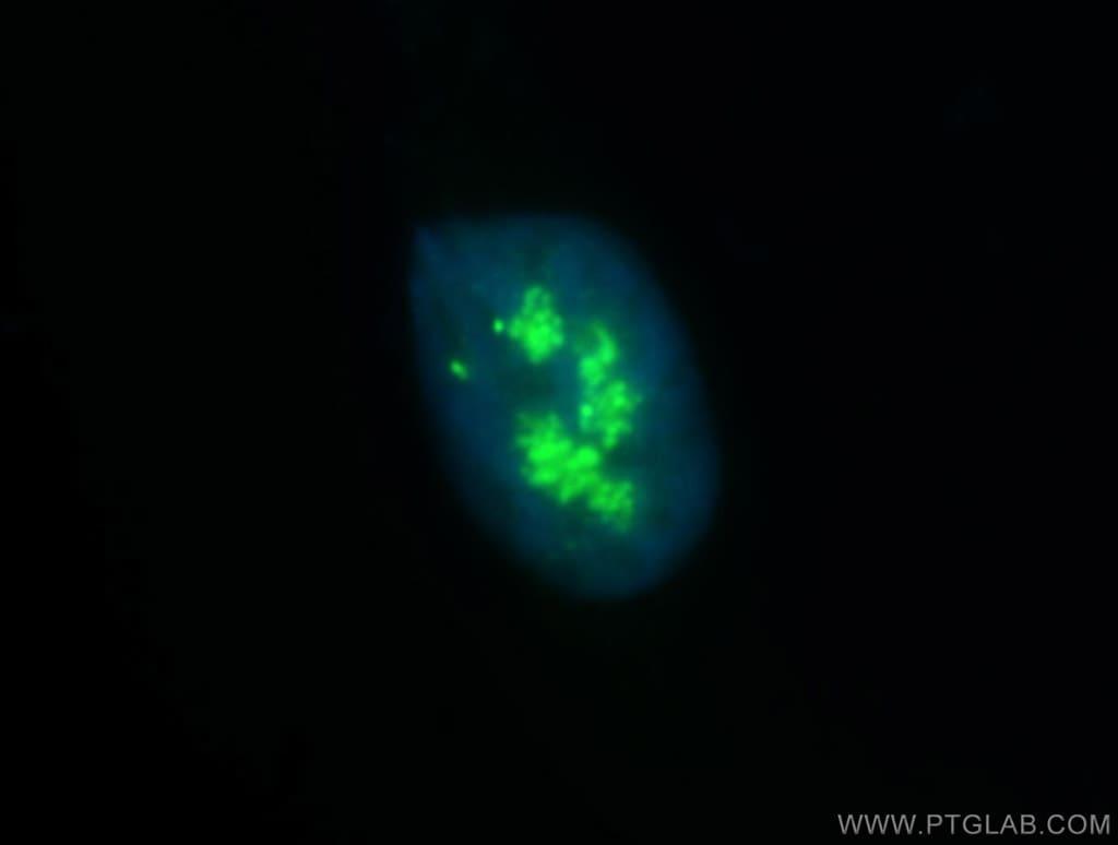 NOLC1 Antibody in Immunofluorescence (IF)