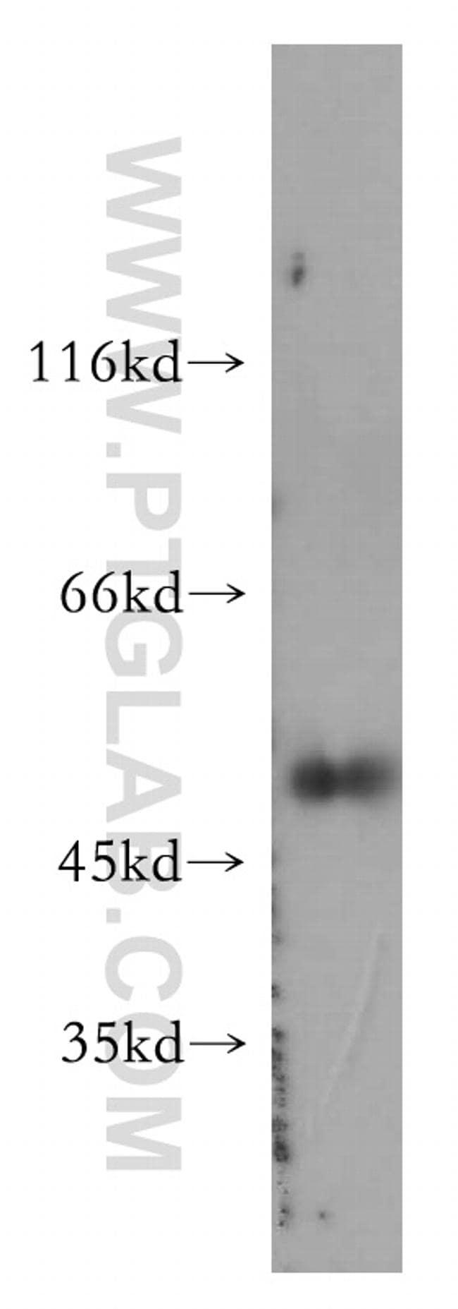 Caspase 4/p20/p10 Antibody in Western Blot (WB)