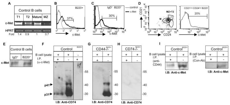 c-Met Antibody