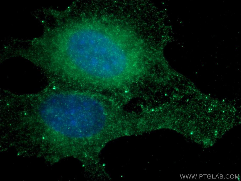 RAB5A Antibody in Immunofluorescence (IF)