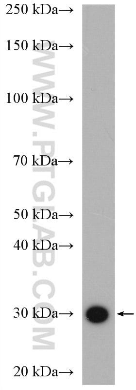RPS3 Antibody in Western Blot (WB)