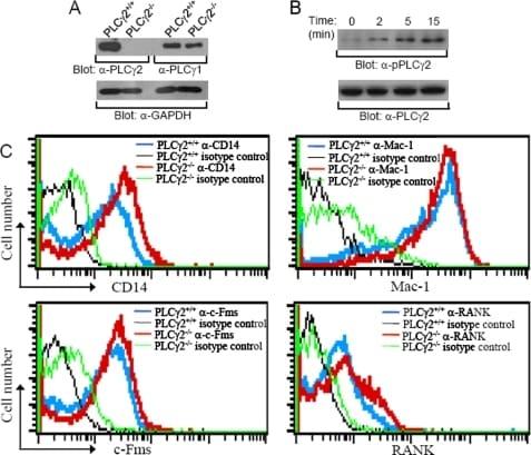 CD115 (c-fms) Antibody
