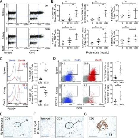 CD134 (OX40) Antibody