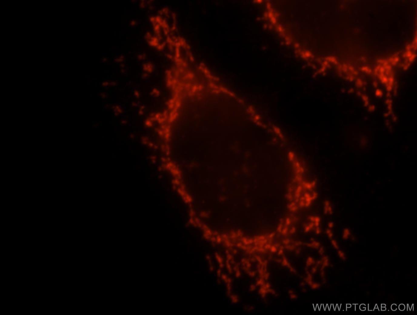 OXCT1 Antibody in Immunofluorescence (IF)