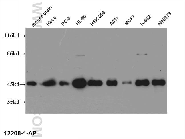 CREB1 Antibody in Western Blot (WB)