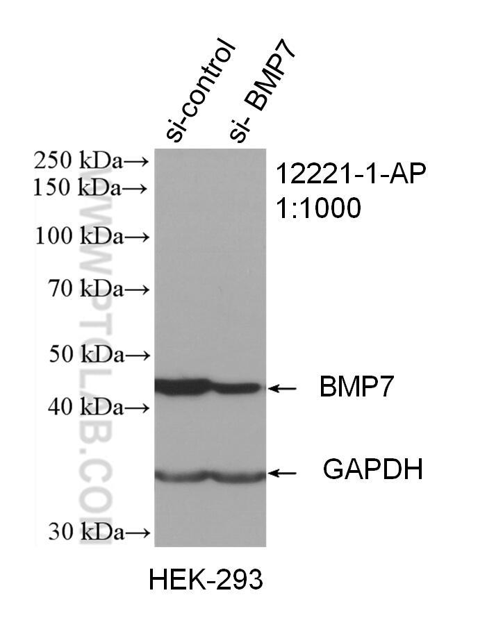 BMP7 Antibody in Western Blot (WB)