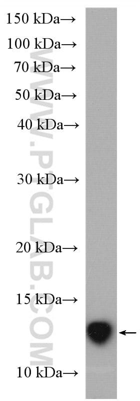 Cystatin C Antibody in Western Blot (WB)