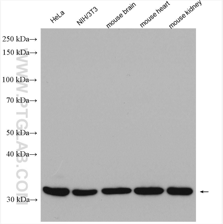 Prohibitin 2 Antibody in Western Blot (WB)