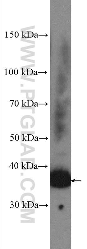 Syntaxin 7 Antibody in Western Blot (WB)