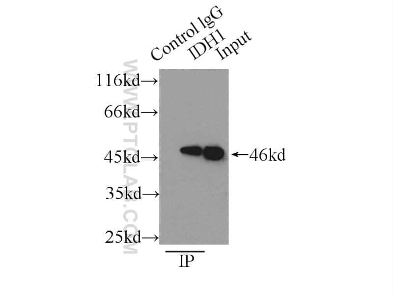 IDH1 Antibody in Immunoprecipitation (IP)