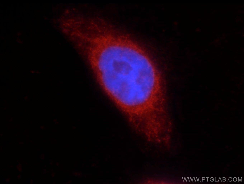 COX2 Antibody in Immunofluorescence (IF)