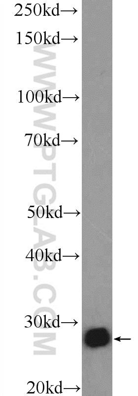 14-3-3 gamma Antibody in Western Blot (WB)