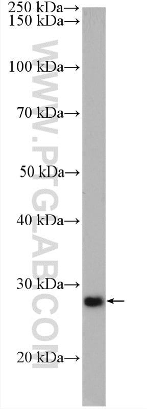 DPM1 Antibody in Western Blot (WB)
