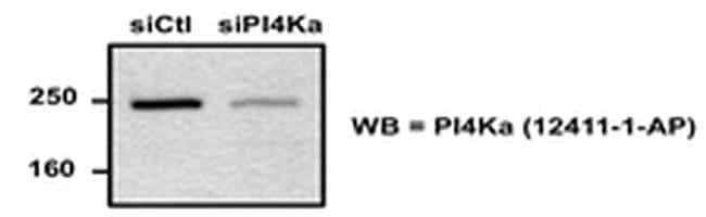 PI4KA Antibody in Western Blot (WB)
