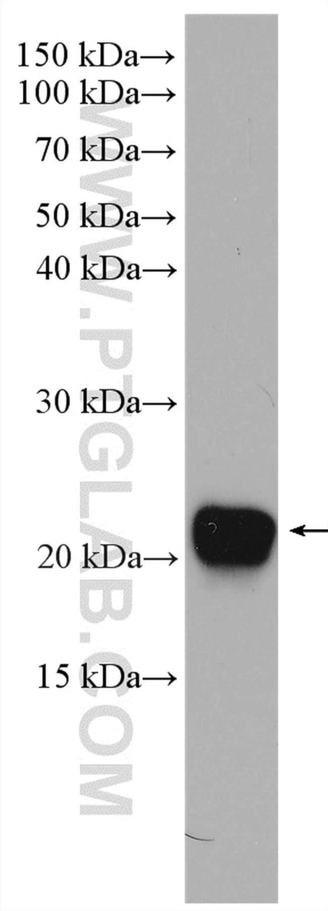 CDO1 Antibody in Western Blot (WB)