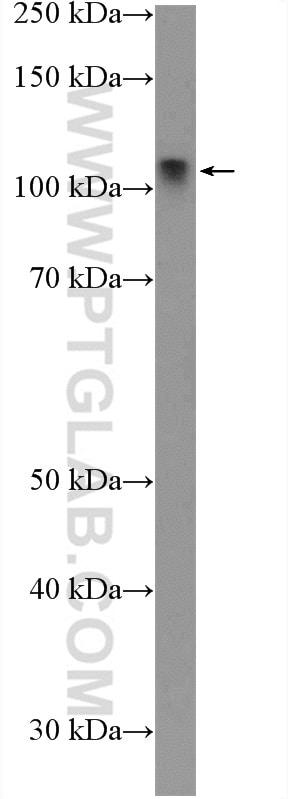 LIG4 Antibody in Western Blot (WB)