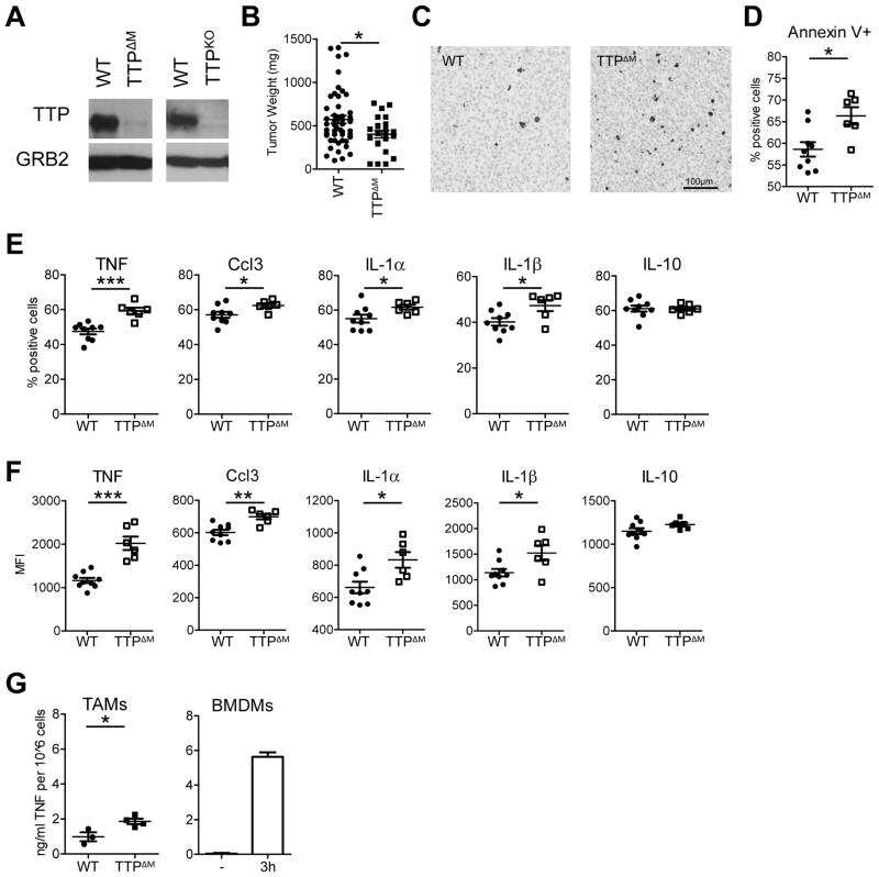 CCL3 (MIP-1 alpha) Antibody